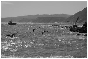 Mar i pelicans