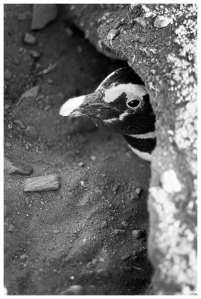 Pingüí de Magallanes