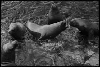 Llops de mar