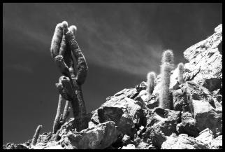 Cactus centenari