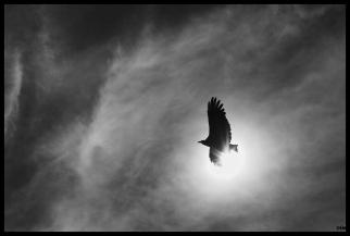 Ocell del Fenix
